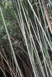 Background with healthy stalks of bamboo plants Royalty Free Stock Image