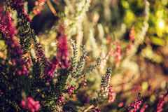 Background of heathers. Autumn view of pink heathers Stock Image
