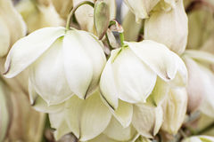 Background of Hesperoyucca whipplei flowers royalty free stock images