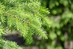 Background with high quality christmas trees, young green nordmann fir close up. Background with high quality christmas trees, green nordmann fir close up stock photography