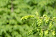 Background with high quality christmas trees, young green nordmann fir close up. Background with high quality christmas trees, green nordmann fir close up royalty free stock photo