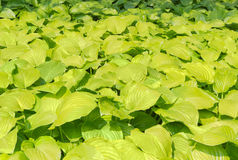 Background of a hosta leafage Royalty Free Stock Photography