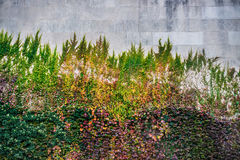 Background of huge colorful wall with wild grapes, ivy and flowers Stock Photo