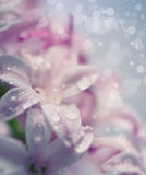 Background with hyacinth Royalty Free Stock Photo