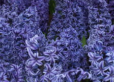 Background Of Hyacinth Flowers Stock Image