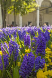 Background hyacinths are blooming in front of the Topkapi Palace in Istanbul Stock Images