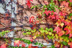 Background image of autumn leaves in vineyard Stock Images