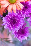 Background image of beautiful bright orange flower and purple ch. Bouquet of violet chrysanthemum flower and other colourful flowers Stock Image