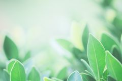 The background image is blurry green leaves feeling refreshed. A. Nd have a good environment. Make a background with copy space using as natural green plants royalty free stock image