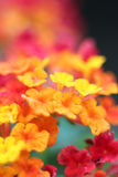 The background image of the colorful flowers Royalty Free Stock Photos