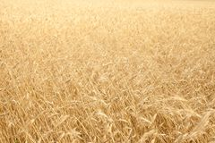 Dry yellow grass on the field Royalty Free Stock Photo