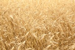 Dry yellow grass on the field Royalty Free Stock Image