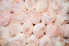 Background image of fresh light pink roses . flower texture Stock Photography