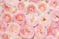 Background image of fresh pink roses. Closeup view. Background image of pink roses. Closeup view, flat lay royalty free stock images