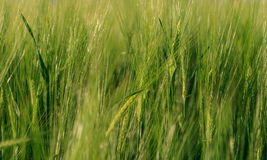 A background image of green barley field Royalty Free Stock Photos