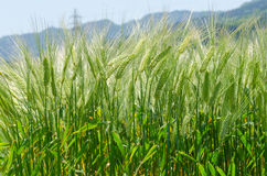 Background image of green barley field. On sunny day Stock Images