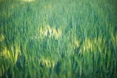 Background image of green barley field Royalty Free Stock Image