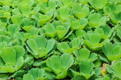 Water Lettuce Royalty Free Stock Photography