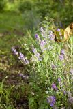 Flowering lavender in the garden at sunset Stock Photos