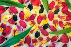 Background image: petals and leaves of tulips. On a light background has many different petals of different colors, between green leaves of tulips Stock Photo