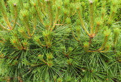 Background image of pine branches Stock Image