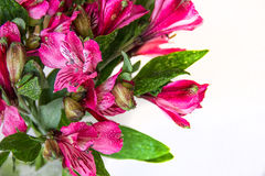 Alstroemeria flowers Stock Images