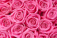 Background image of pink roses Stock Photography