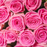 Background image of pink roses Royalty Free Stock Images