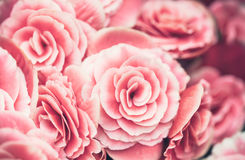 Background image of pink roses, close up Stock Photography