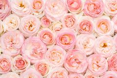 Background image of pink roses. Closeup view. Flat lay royalty free stock photography