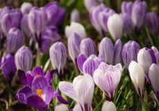 Purple Spring Crocuses Growing Wild in Scotland. Background Image of Purple Spring Crocuses Royalty Free Stock Photo