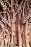 Background image of  a tropical banyan tree (ficus benghalensis) Royalty Free Stock Images