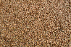 Background image of wheat. Natural background. Wheat grains scattered to dry Royalty Free Stock Photo