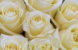 Background image of white roses. Selective focus royalty free stock image