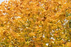 Colorful maple leaves background Royalty Free Stock Photo