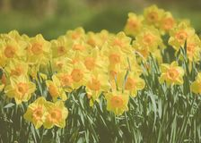 Yellow Spring Daffodils in Scotland. Background Image of Yellow Daffodils in Spring Royalty Free Stock Images