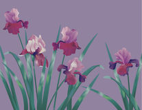 Background with iris Royalty Free Stock Photos