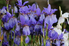Background of Iris. Royalty Free Stock Images