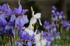 Background of Iris. Stock Image