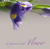 Background with iris flower Royalty Free Stock Image