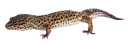 Lizard animal isolated on a white background stock photography