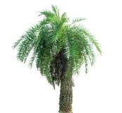 background isolated palm tree white стоковые фотографии rf