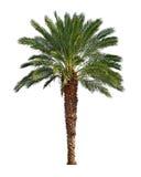 background isolated palm tree white Стоковая Фотография