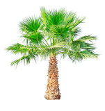 background isolated palm tree white бесплатная иллюстрация