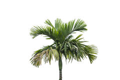 background isolated palm tree white стоковая фотография rf