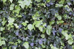 Background ivy on a wall Royalty Free Stock Photo