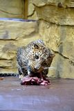 Background jaguar. Big cats in downing of a large piece of meat royalty free stock photo