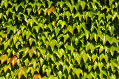 Background of Japanese creeper Royalty Free Stock Images