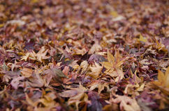 Background of japanese maple leaves in autumn Royalty Free Stock Images