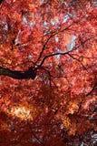 Background of Japanese Maple leaves Royalty Free Stock Photo